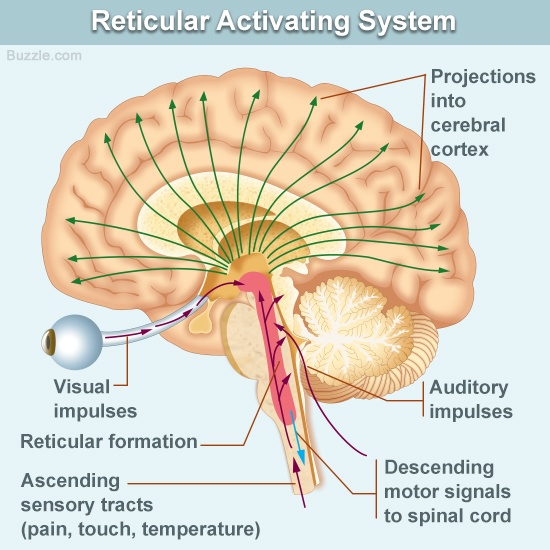 reticular-activating-system